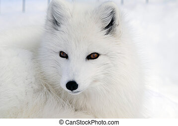 ártico, zorro