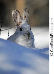 Snowshoe Hare - Picture of a wild Snowshoe hare in Winter