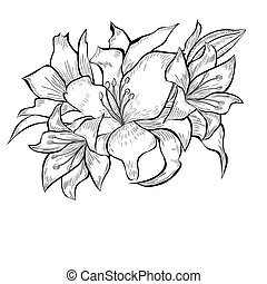 Black and white illustration of Lily flowers