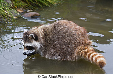 Common raccoon or Procyon lotor searching for food in water