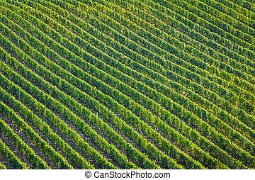 Plenty of vine rows in Palava, Czech Republic