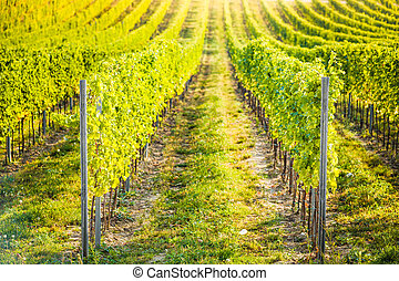 Detail of vineyard in Palava, Czech Republic