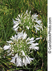 Agapanthus - Closeup photo of a white agapanthus