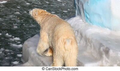 Polar bear. - Polar bear in Novosibirsk ZOO.