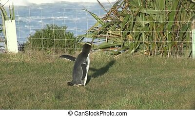 Yellow eyed penguin 3 - The yellow Eyed Penguins return to...