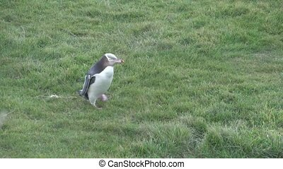 Yellow eyed penguin walking on gras - The yellow Eyed...