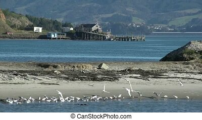 Beach Otago Peninsula. - Birdlife on a small beach on the...