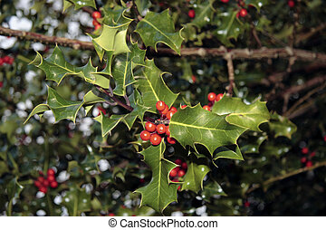 holly berrys 1 - wild holly berries in the irish countryside