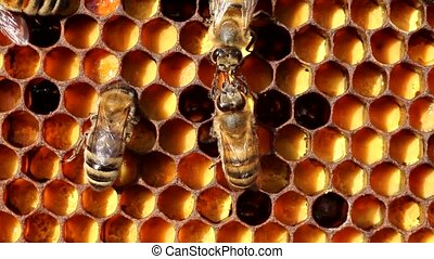 Communication bees. Bees share information, pass each other...