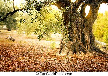 Old olive tree - Mediterranean olive field with old olive...