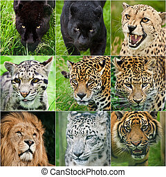 Compilation of portraits of all big cats 9 images -...