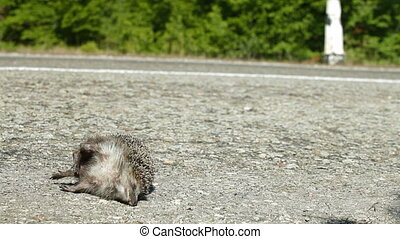 Victim in a Road Accident - Hedgehog as a pedestrian was...