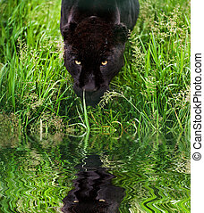 Black jaguar Panthera Onca prowling through long grass in captivity reflected in calm water