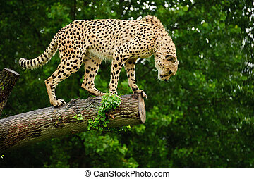 Cheetah Acinonyx Jubatus Big Cat - Cheetah Acinonyx Jubatus...