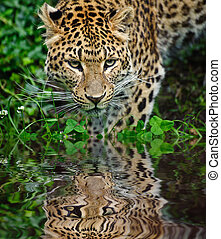 Beautiful portrait of leopard Panthera Pardus big cat...