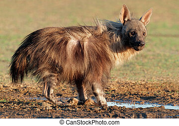 Brown hyena - A brown hyena (Hyaena brunnea) at a waterhole,...
