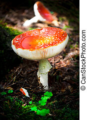 Fly agaric mushrooms in forest Shallow depth of field