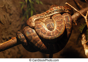 Brown twine of boa constrictor coils up on branch
