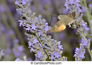 Hummingbird Hawk-moth butterfly - Closeup of Hummingbird...