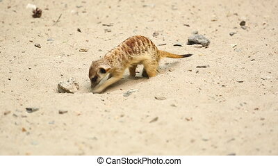 Meerkat. - Meerkat looking out for danger and ready to...