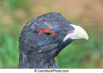 Capercaillie - Portrait of a capercaillie close up aka...