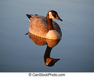 Canada goose reflected in river - sunset