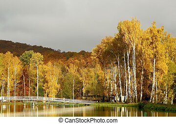 Autumn birches at dawn - Autumn birches on the shore of a...