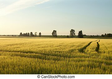 Rural landscape at dusk - Spring wheat field with a dirt...