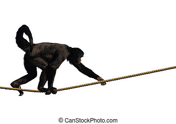 Climbing Monkey - Colombian Spider Monkey, climbing on a...