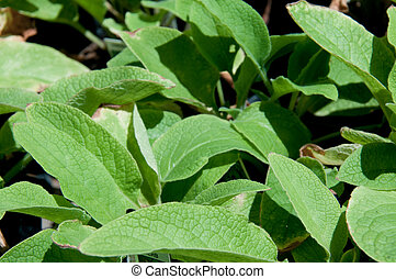 Comfrey is a plant that is ideal for composting or using as...