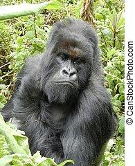 Gorilla Silverback - Mountain Gorilla, Rwanda