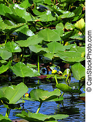 lily pads  - lilies or lily pads in water for scenic view
