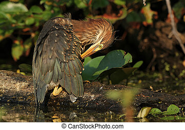 Young Green Heron Preening its Feat
