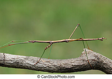 Northern Walking Stick (Diapheromera femorata) Concealed on...