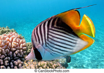 Threadfin butterflyfish Chaetodon auriga and coral reef, Red...