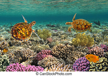 Green Sea Turtle swiming over Coral Reef, Red Sea, Egypt