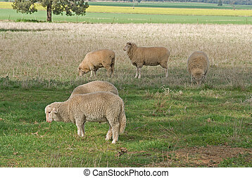 mammal - lambs and ewes grazing in a grass pasture closeup