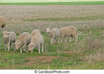 mammal - 6 young lambs grazing in a pasture closeup