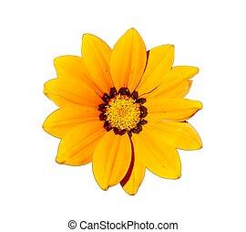 cabeça, flor, amarela