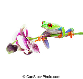 Tree Frog on Orchid - A red-eyed tree frog perched on an...