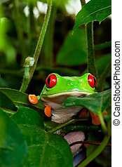 Red Eyed Tree Frog in Leaves