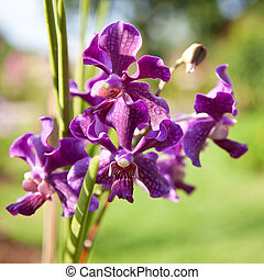 Beautiful purple orchid on stem, outdoor