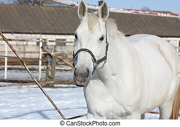 Gray horse at the paddock - Gray horse portrait in the...