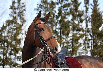 Beautiful bay horse with bridle portrait - Beautiful latvian...