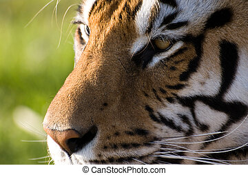 Concentrated Look of a Tiger - Close-up shot of a tiger in...