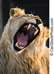 Powerful Yawn - Lion is yawning in Kwantu Game Reserve,...