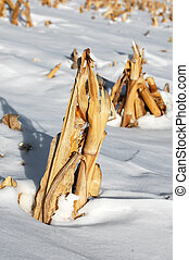 corn stalk in the winter snow, close up, others in...