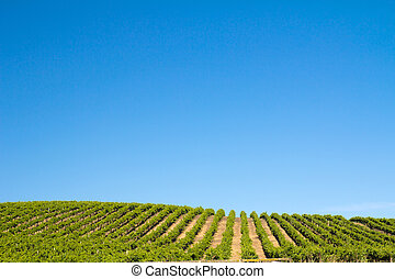 Vineyard field during summer in Sonoma County, California