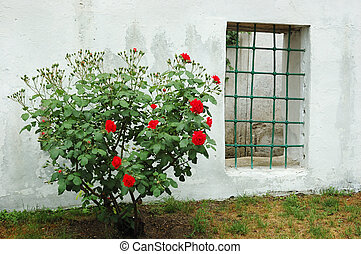 Old window and red rose bush in Bakhchisaray Khan...