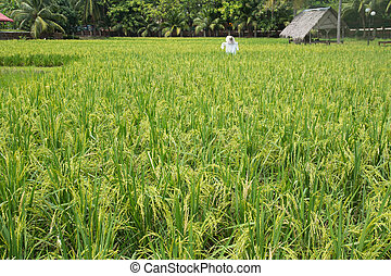 Padi field - The greenish rice padi field in Malaysia